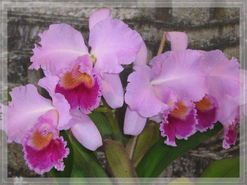 Orchiedeen. Foto: Orchideenfreunde Zwickau e.V.