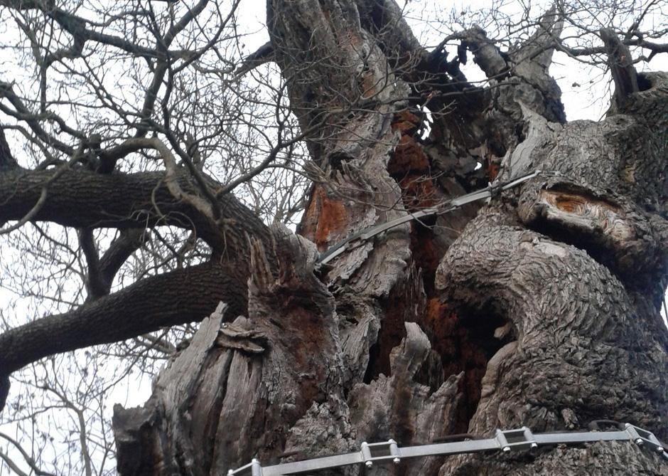 Schon seit Jahrhunderten innen Hohl: Die 1000-jährige Eiche in Nöbdenitz