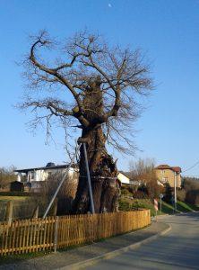 Die 1000-jährige Eiche von Nöbdenitz im Frühjahr 2016